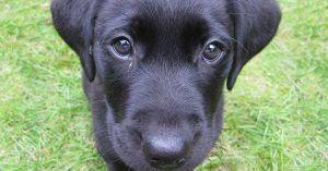 buying-puppy 63-golden-tips