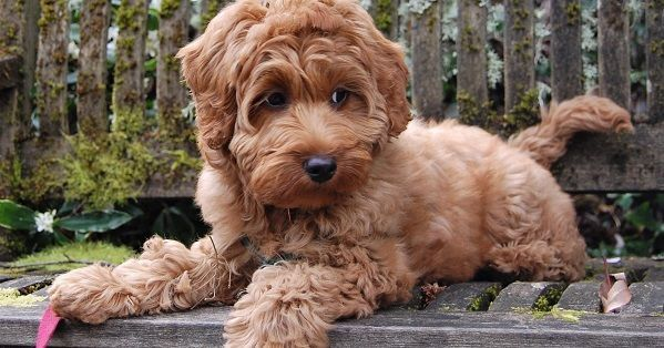 English puppy names