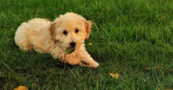 Portuguese puppy names-2