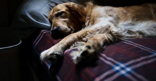 Helft van de honden slaapt in bed