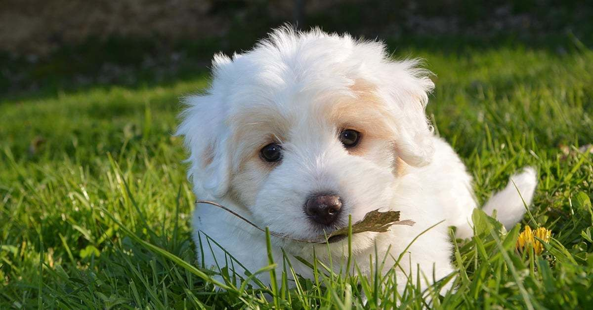 maltezer pups opvoeden kost tijd en geduld • tinki.nl