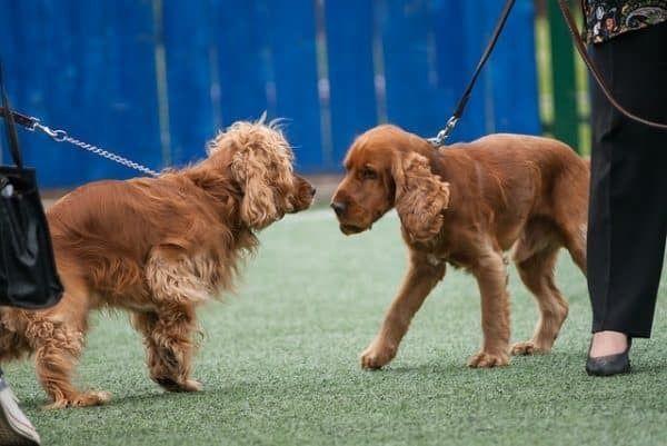 honden aan elkaar laten wennen