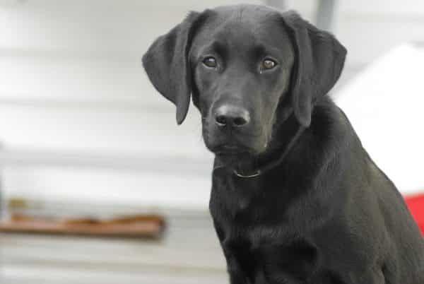Top 10 honden - nummer 1