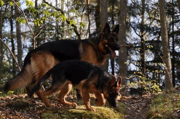 Top 10 honden - nummer 3