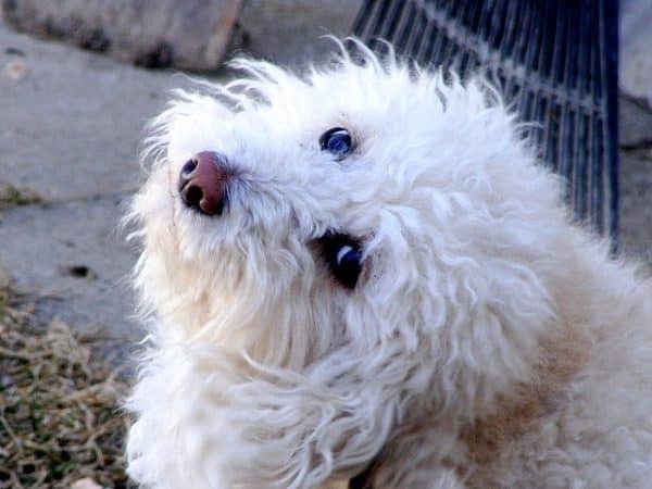 vlooien-hond