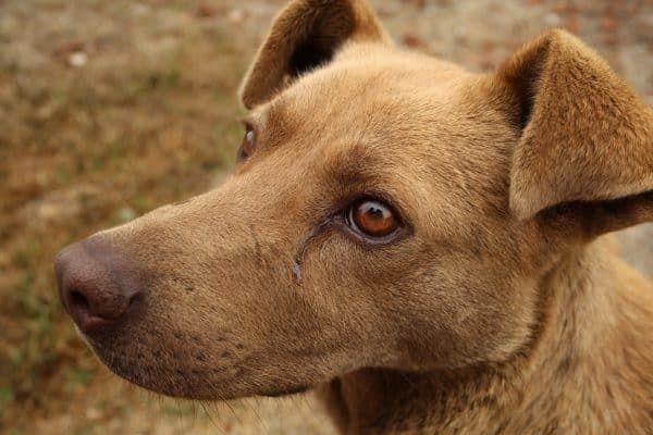 Hond ziek inenting