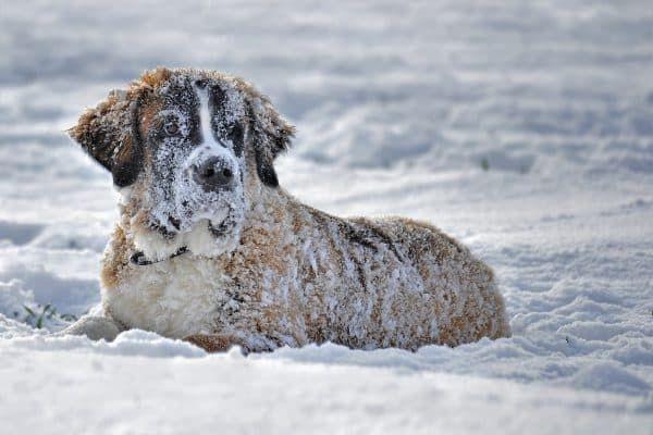 hond koud
