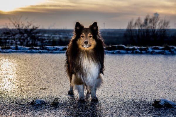 hond op ijs