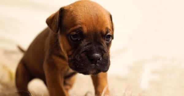 aanschaffen van een pup