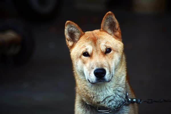 epileptische aanval hond