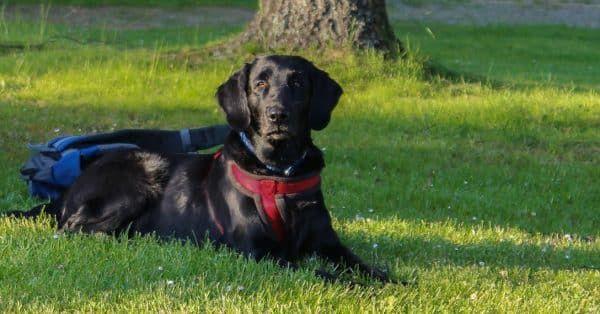 epilepsie hond