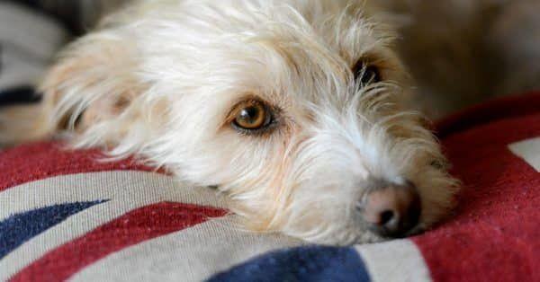 Kan een hond jaloers zijn?