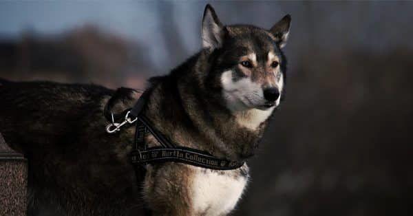 feiten en fabels over husky's