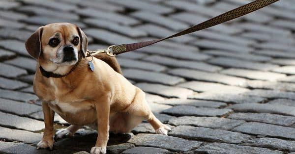 hond aan de riem leren lopen