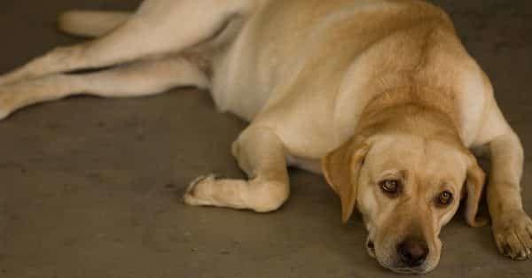 hond last van huidschilfers