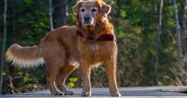 Het reanimeren van een hond in 6 stappen