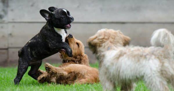 Pup bij een oudere hond, gaat dit samen?