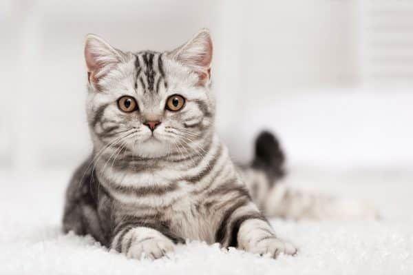 goedkoopste-kattenverzekering