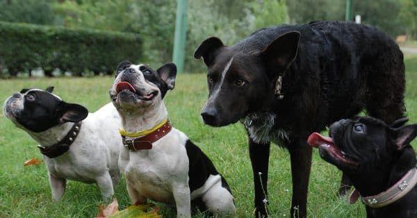 meerdere honden in samen huis