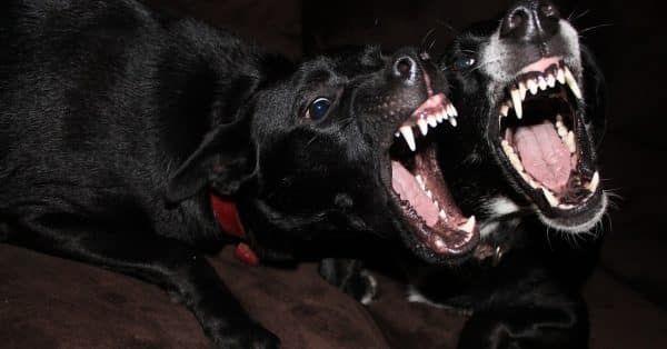 risico honden als bijt-gevaarlijke honden