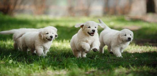 verzekering-voor-puppy