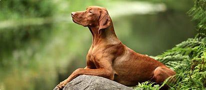 zorgverzekering ras-hond