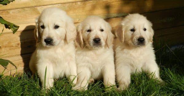 honden aanschaffen