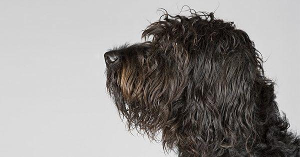kopverband bij je hond