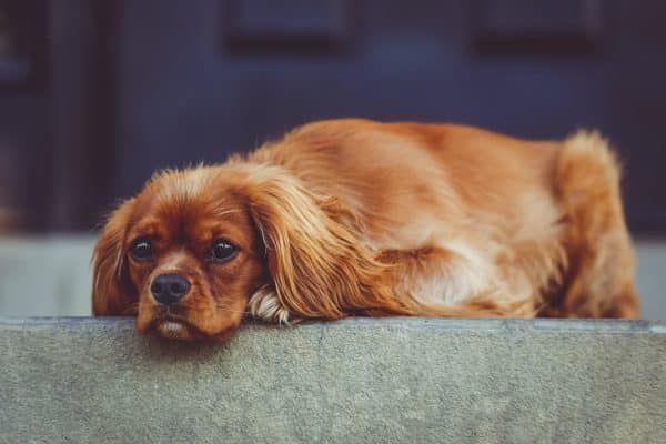 medicijnen voor honden