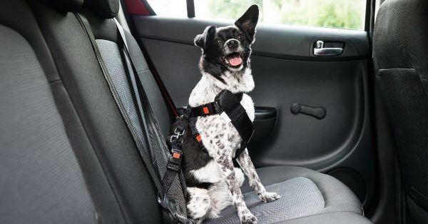 autogordel hond