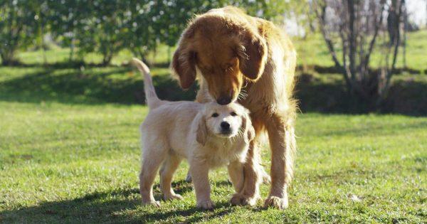 Oudere-hond-en-pup-samen