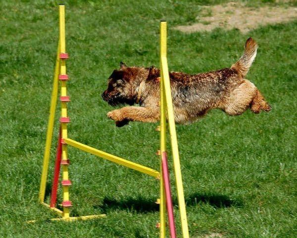 agility hond