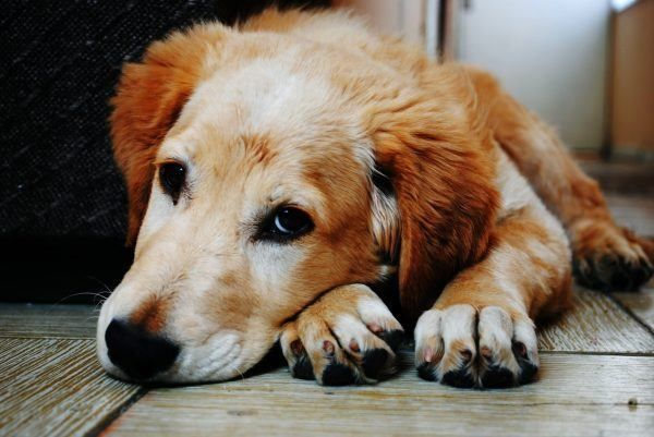 gezonde-hond