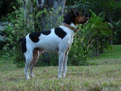 Braziliaanse Terrier