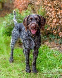 boheemse terrier