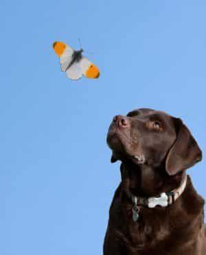 hond intelligentie