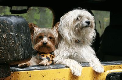 honden-in-auto