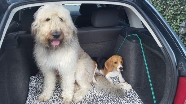 hond autoziek