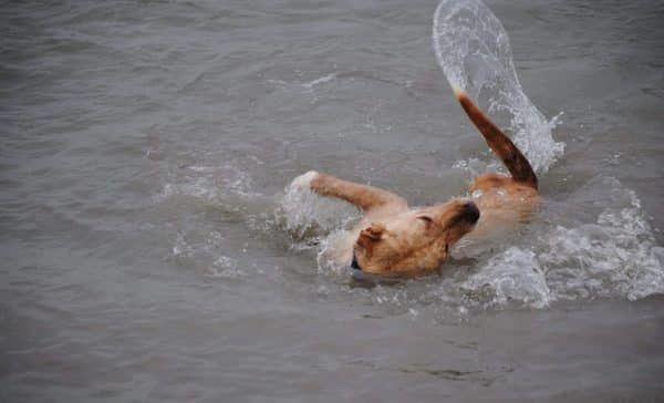 invalide hond