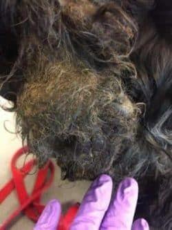 Behandeling in trimsalon van verwaarloosde hond