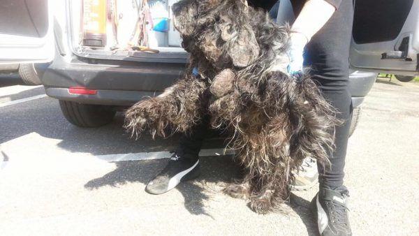Behandeling trimsalon ernstig verwaarloosde hond