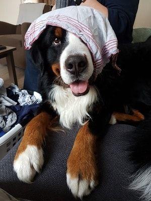 Billy Berner sennen hond