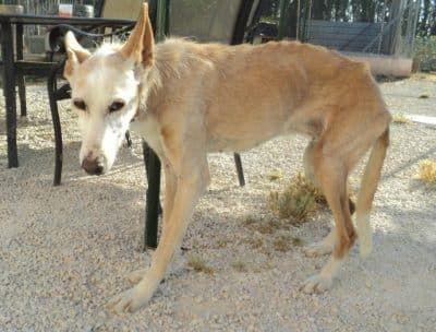 Papeta bejaarde hond in het asiel