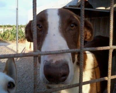 Pomelo asielhond in Spanje