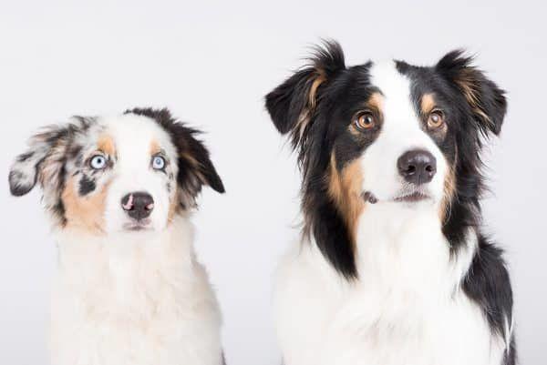 commando leren honden (1)