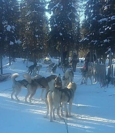 husky safari ramie's huskies