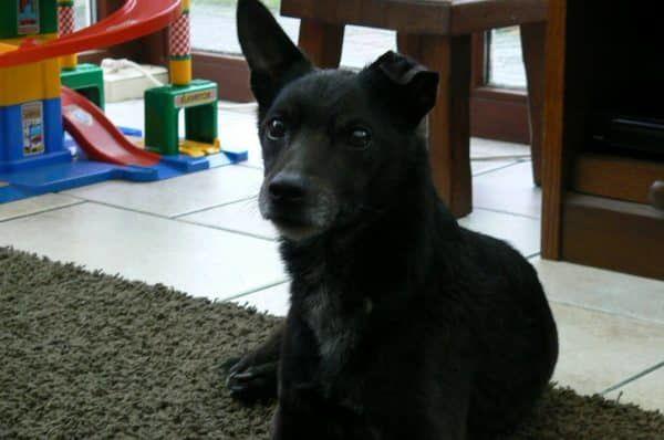 oudere hond adopteren of kopen